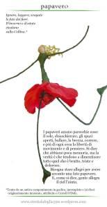 papavero